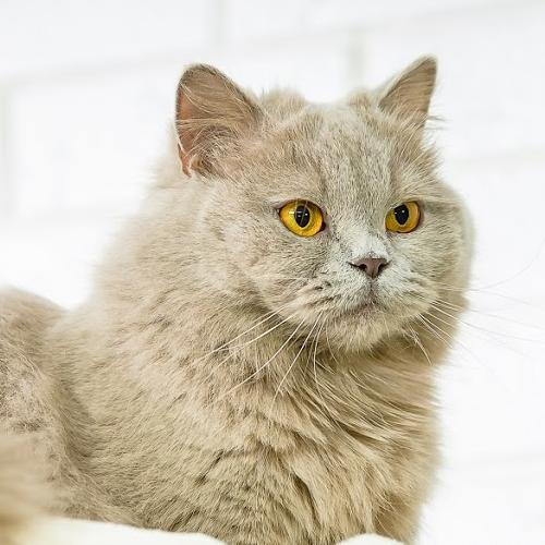 Kocie Radowice - hodowla kotów brytyjskich